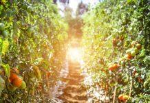 Traitement des tomates